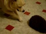 собака и ежик